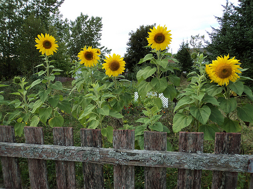 sunflower garden- Is Your Garden Environmentally Friendly?