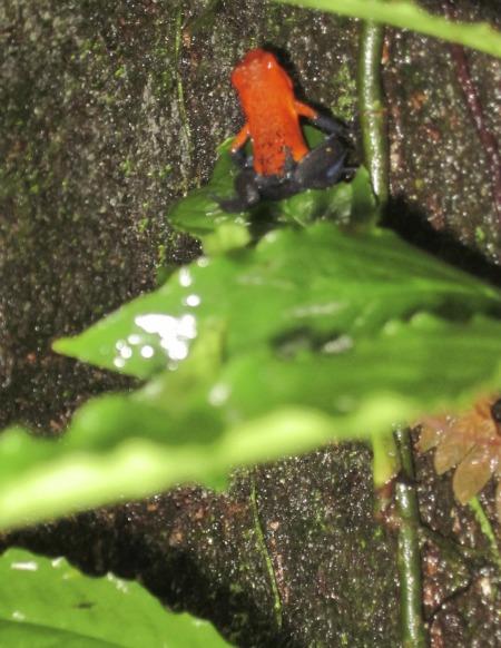 Blue Jeans Poison Dart Frog / Family Focus Blog