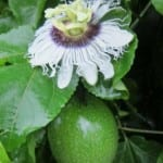 Sustainable Agriculture: Passionfruit Farms in Costa Rica