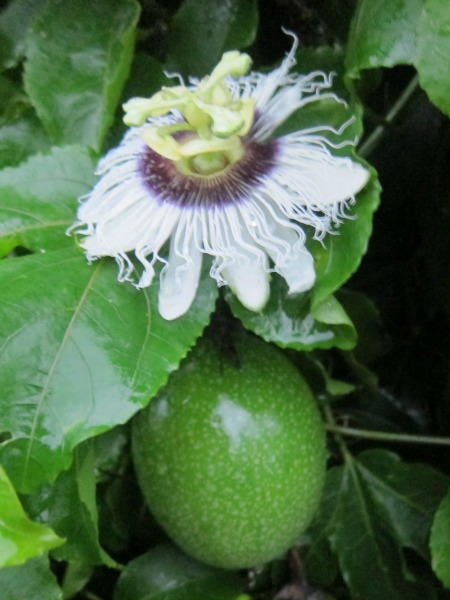Passionfruit flower and fruit / Family Focus Blog