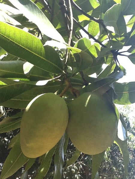 mangoes on the tree