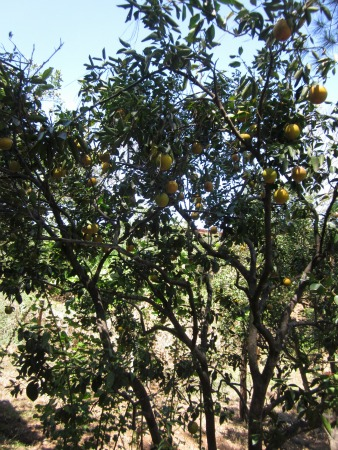orange trees on Rainforest Alliance Certified Farm