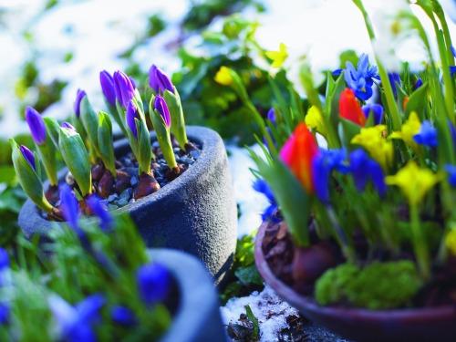 spring flower bulbs