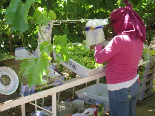 groupo alta grape worker