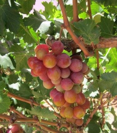 groupo alta starlight grapes on vine