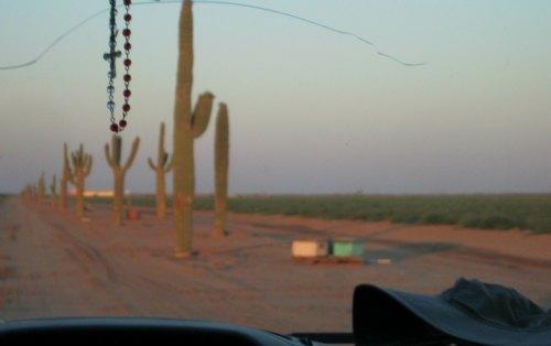 sagueros cactus row on groupo alta farm