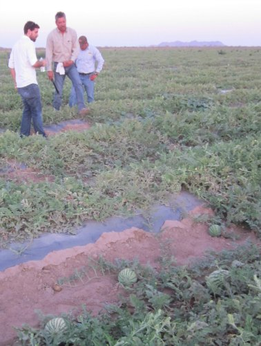 watermelons and farmers in the groupo alta fair trade fields