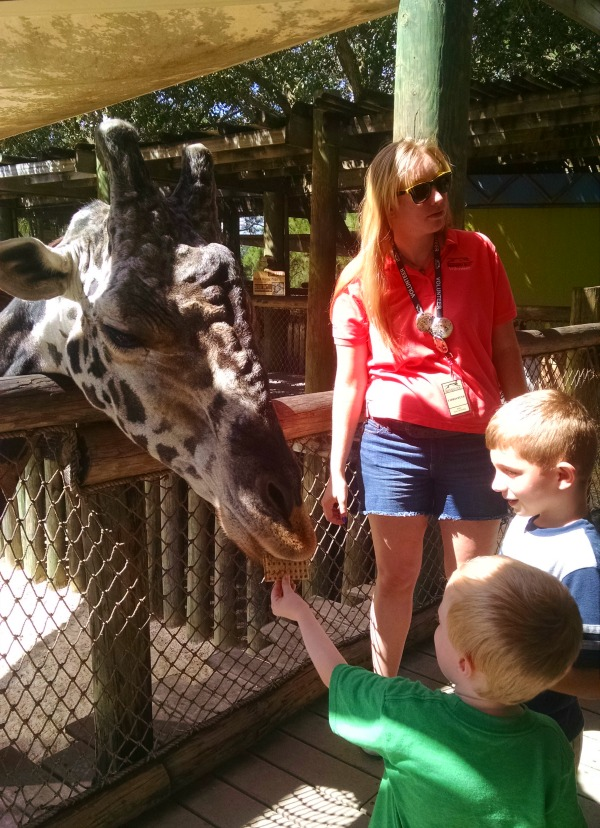 giraffe at Brevard Country zoo