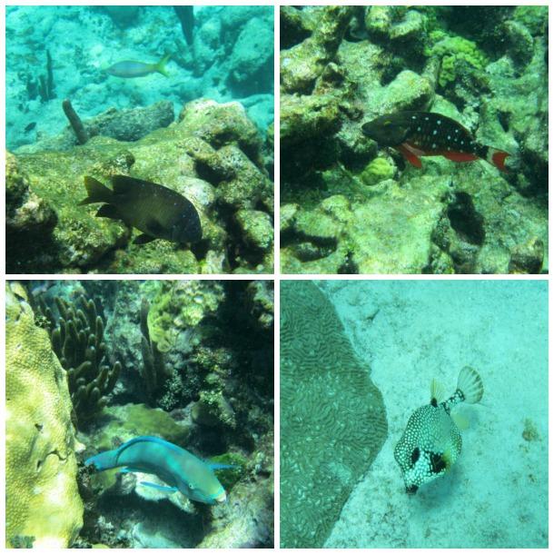 Caribbean Fish Buck Island USVI