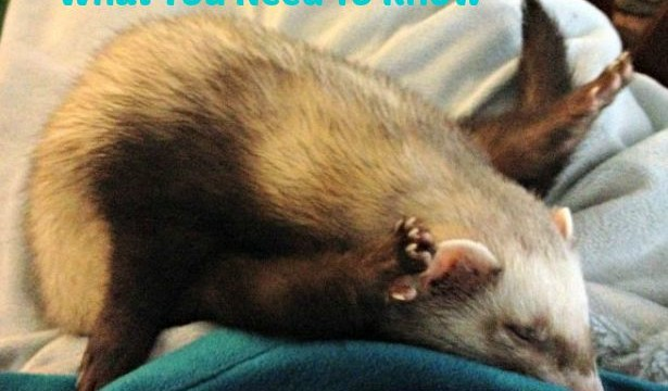 Ferrets As Pets: What You Need To Know