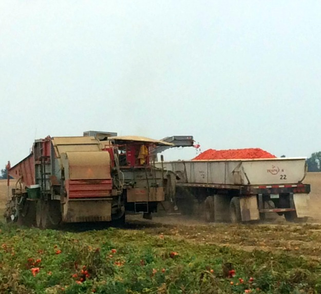 fall tomato harvest Red Gold Farm