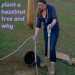 Plant A Hazelnut Tree:  Homestead, Health and Hazelnuts