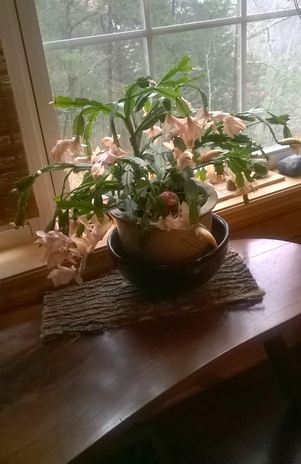 Christmas cactus on bark planter mat