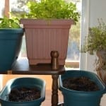 Thrifty Herb Window Gardening: What, Why, and How