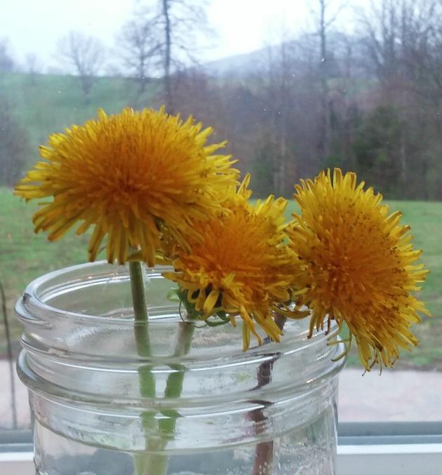 dandelion flowers, edible yard weeds