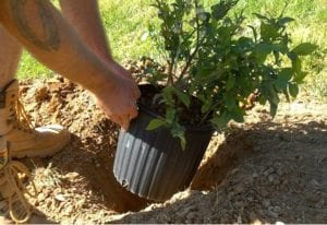 How To Plant Blueberry Bushes: A Beautiful, Bountiful Shrub