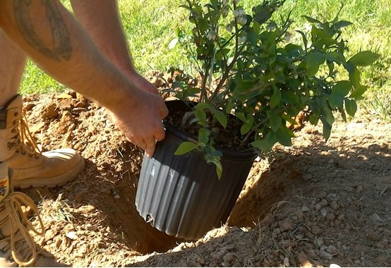 how to plant blueberries