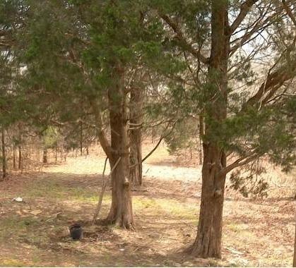 using cedar mulch to prepare acid soil
