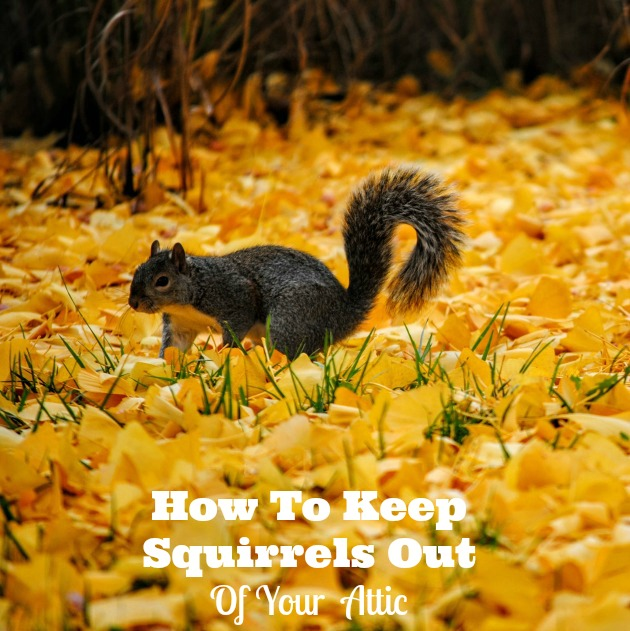 How To Get Rid Of Squirrels In The Attic Family Focus Blog