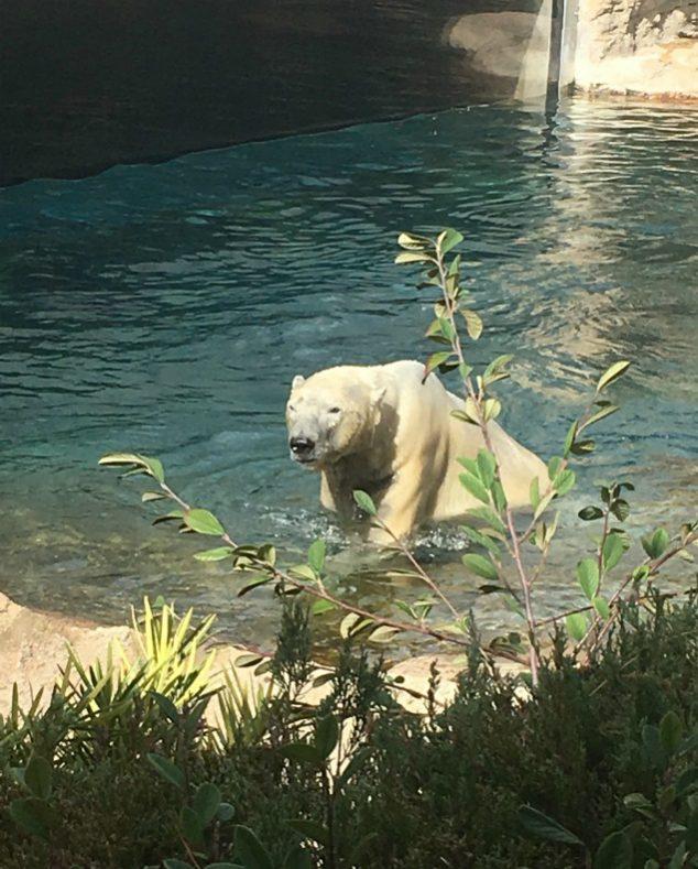 polar pear san diego zoo