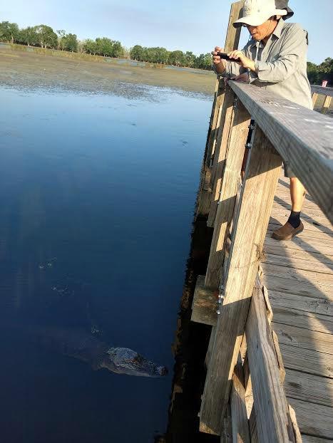 brazos bend alligator viewing
