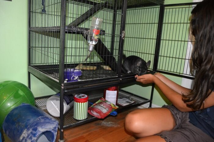 caring for chinchillas